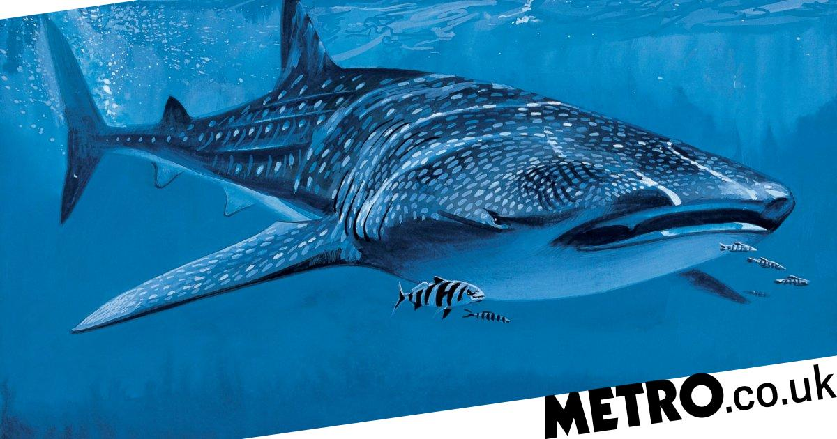 Atom bomb tech means scientists can carbon date whale sharks