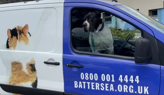 An abandoned pooch is helping staff at Battersea Dogs Home during the coronavirus lockdown. See National story NNdog; Two-year-old Billy the Bully Kutta has taken it upon himself to check in on the day-to-day running of the centre, from manning the security gates to answering calls on reception and even checking in on the food stock. The giant rescue dog has proven that he is worth his 52 kilo (114.6 lbs) weight in gold at Battersea Cats and Dogs where he is busy ensuring everything is still running smoothly.