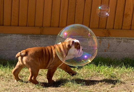 Nellie the bulldog walking with a bubble around her head