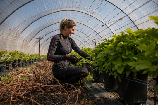 ROCHESTER, KENT - March 31: Seasonal worker Anna Maria from Romania tends to raspberries inside a polytunnel before the fruit picking season on a farm March 31, 2020 in Rochester, Kent. Concerns about the shortage of seasonal workers are increasing, and about 90,000 jobs need to be filled. The charity