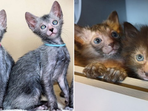 Kittens belonging to rare cat breed look like adorable werewolves