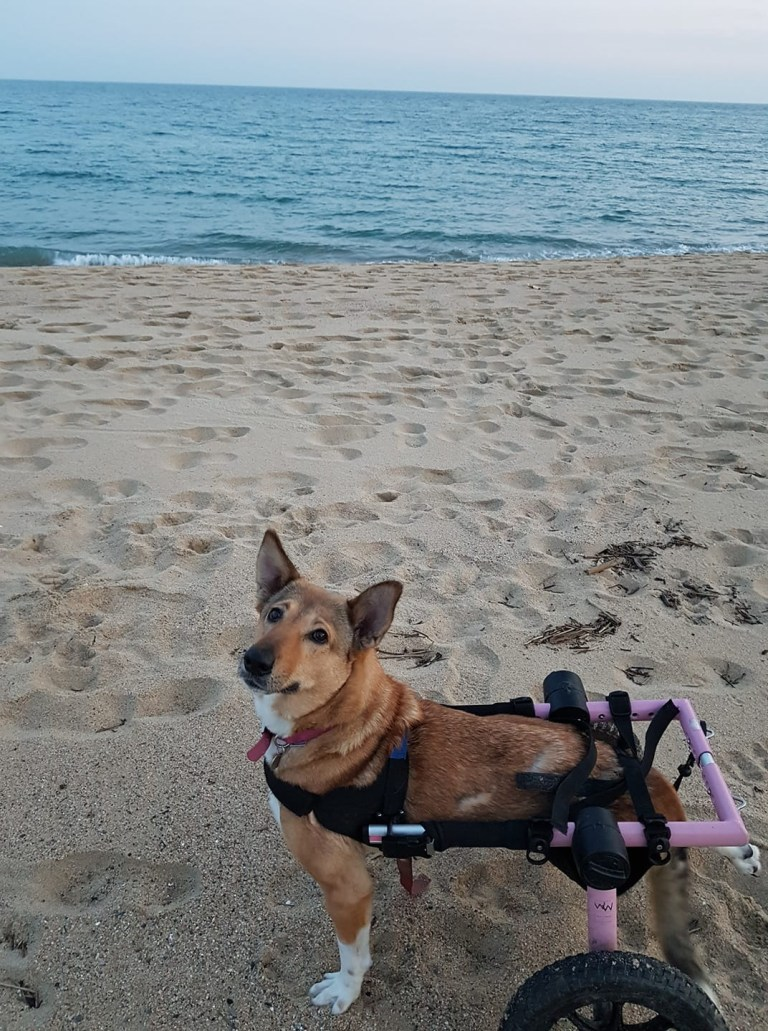 Disabled dog on the beach with her wheelchair