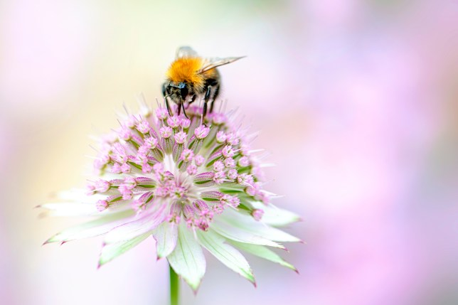 Close-up image of a honey bee collecting pollen from a summer flowering, pink Astrantia flower also known as Masterwort