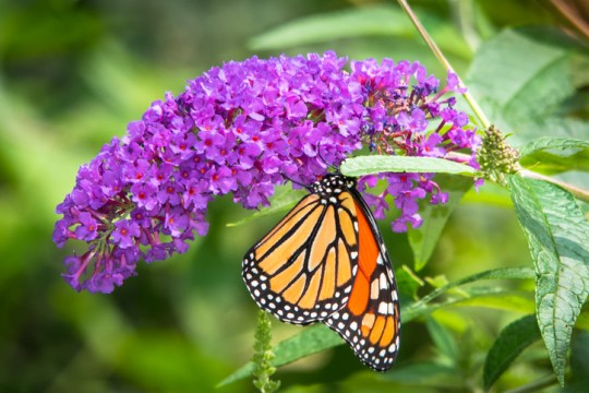 Vibrant Purple Buddleia Flower with a Monarch Butterfly