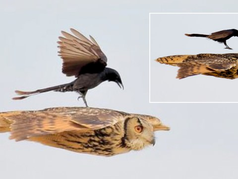 Brave bird hitches ride on unsuspecting eagle owl midflight
