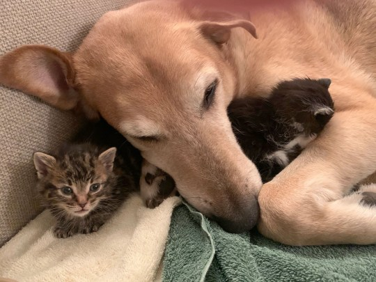 Raylan the nine-year-old Shepherd mix dog acting as a foster dad to two kittens
