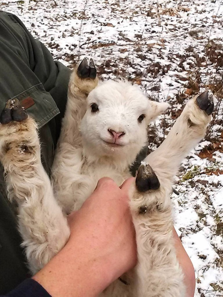 a lamb getting its belly tickled