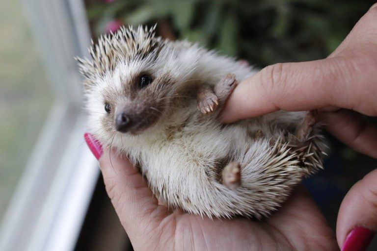 a hedgehog getting its belly tickled