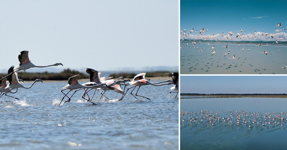Flamingos flourish due to coronavirus lockdown in Narta Lagoon, Albania.