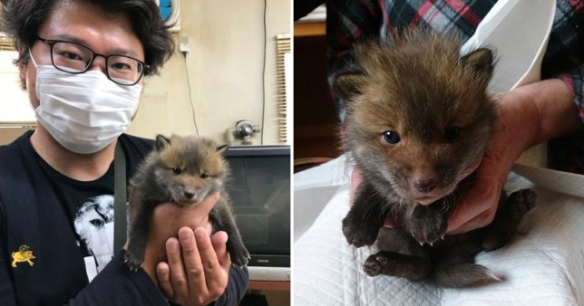 Man rescues 'puppy' from the streets, finds out its a baby fox