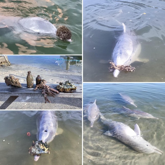 Dolphins eager for humans to return to Australian beach bring increasingly lavish gifts to those who do https://www.facebook.com/Barnaclescafedolphinfeeding/photos/a.1268425083238072/2938609039552993/?type=3&theater