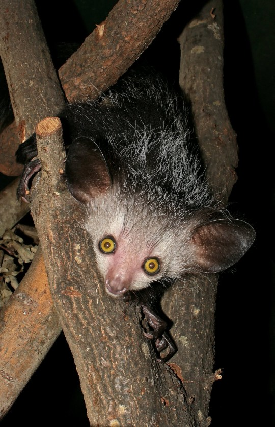 This is an Aye-Aye  (Credits: ZSL / SWNS.COM)