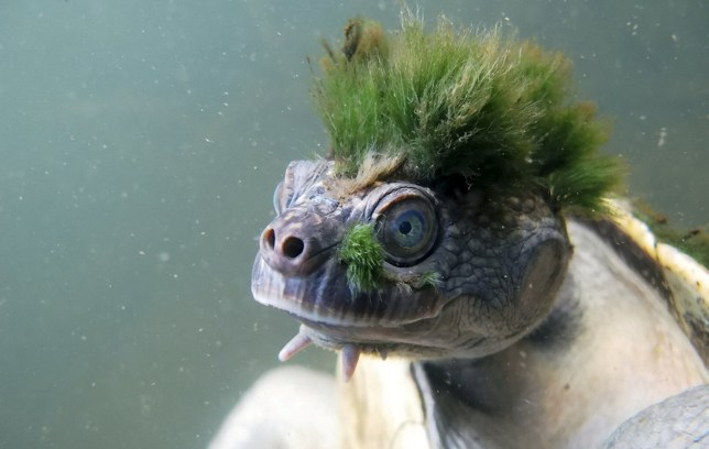 The punk-haired Mary River turtle is under threat of extinction  (Credits: Chris Van-Wyk / ZSL / SWNS.COM)