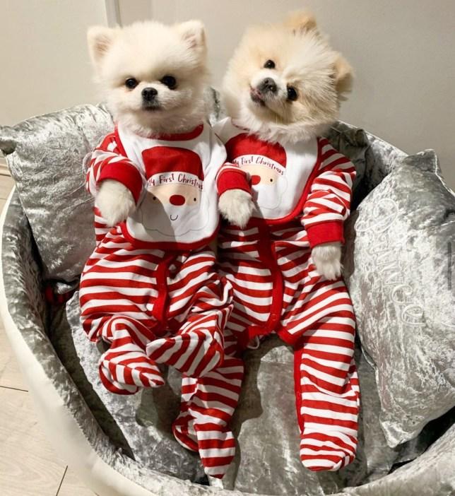 Pomeranians Bear (L) and Beau (R) at Christmas.