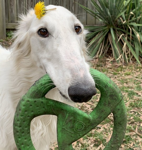 Eris' nose looks bigger than her toys. VIRGINIA: THIS DOG could have the biggest nose in the world after measuring in at a whopping TWELVE INCHES. Adorable images show Eris (2), the large-nosed borzoi, frolicking in the garden, proudly posing for the camera whilst wearing a dandelion in her hair and playing with her toys. Other photos show the sheer length of her sizable schnoz which spans a whopping 12.2 inches, and a family portrait taken on her recent birthday. Eris has just celebrated her 2nd year on May 19, 2020. Jewellery store owner, Lily Kambourian (27) from Richmond, US, first adopted her on July 23, 2018. The Virginian uses an iPhone XR to post pics of her pooch on their Instagram account which is nearing almost 200,000 followers. Named after the Greek goddess of strife and discord, the canine's full title is jokingly 'Madam Eris Overbite, Queen of Snoots'. mediadrumimages/ErisTheBorzoi/@eriszoi