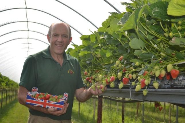 Bumper strawberry crops