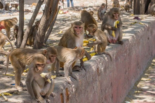 NEW DELHI, INDE - 08 AVRIL: Des singes rassemblés sur le bord de la route mangent des bananes évanouies par des résidents alors que l'Inde reste sous un contrôle sans précédent sur le coronavirus très contagieux (COVID-19) le 08 avril 2020 à New Delhi, en Inde. Les animaux sauvages, y compris les singes, errent dans les établissements humains en Inde alors que les gens restent à l'intérieur en raison de l'isolement de 21 jours. Avec 1,3 milliard d'habitants en Inde et des dizaines de millions de voitures sur les routes, la faune sauvage se déplace vers des zones habitées par l'homme. Dans de nombreux pays, des animaux sauvages ont été vus dans les rues. Une étude indique qu'environ 60 pour cent des nouvelles maladies trouvées dans le monde chaque année sont zoonotiques, ce qui signifie qu'elles sont d'origine animale et transmises à l'homme. COVID-19 est une zoonose qui est soupçonnée d'être venue des marchés humides de Wuhan, en Chine. (Photo de Yawar Nazir / Getty Images)
