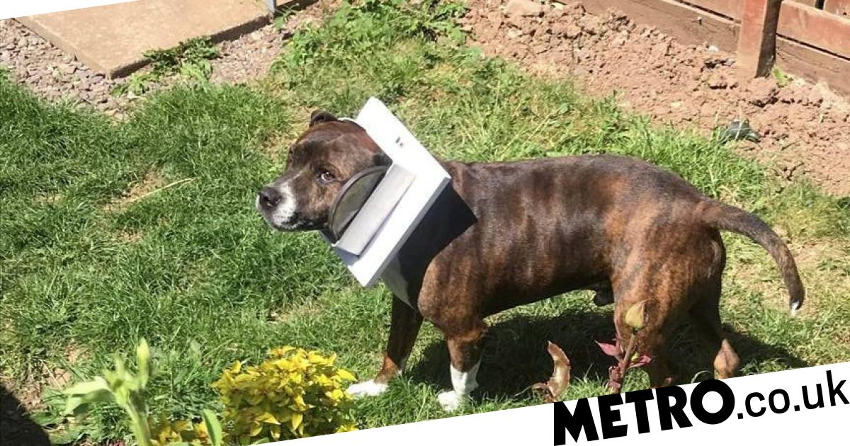 Jock the Staffy so excited to go outside he gets stuck in the cat flap