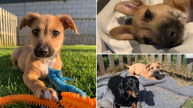 Tiny puppy Marvin left wandering the streets during lockdown gets a new home thanks to Blue Cross