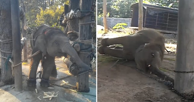 Unseen footage shows barbaric elephant training process called 'the crush'