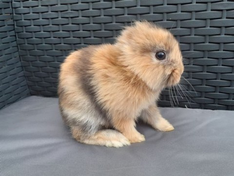 Meet Leo, the adorable 'miracle' bunny born without ears