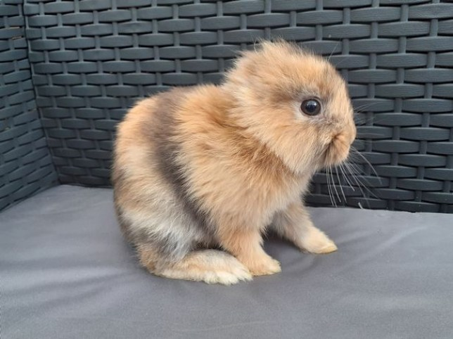 Leo the bunny was born without ears (SWNS)