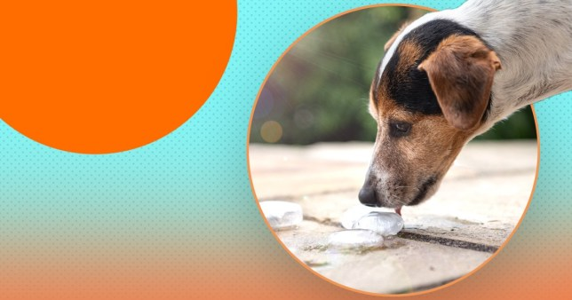 dog licking an ice cube on a colourful background