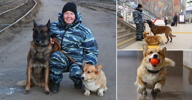 corgi police dog