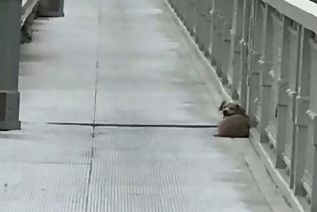 Dog waiting on bridge