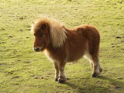Shetland Pony stabbed to death in its field