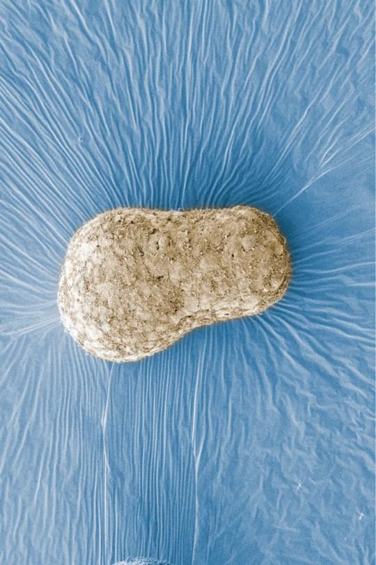 False colour SEM image of human gastruloid. (Credits: University of Cambridge / SWNS)