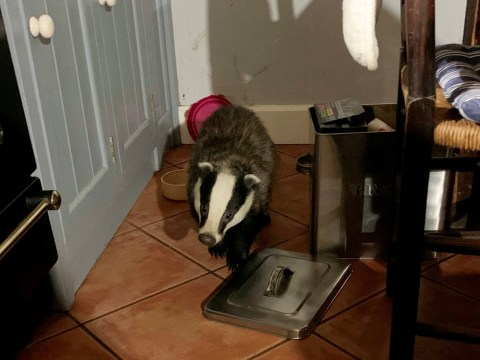 Badger raids woman's kitchen after sneaking in through cat flap