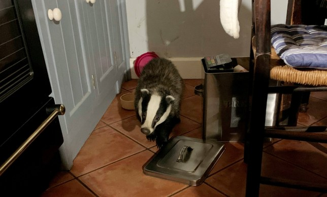 A woman was forced to confront a burglar raiding her kitchen cupboards - a cheeky BADGER. See SWNS story SWBRbadger. A woman was forced to a confront a burglar raiding her kitchen cupboards - a cheeky BADGER. Helen Demuth, 65, said the adventurous animal has been stealing into her home and nicking her food over the past week. She said it had been sneaking in through the cat flap - despite her adding an extra wire onto her gate to try and prevent entry. But the clever badger had still been finding a way in - even going into her bag to pinch anything it can find.
