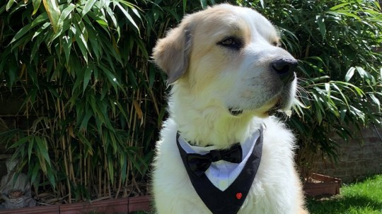 Boomer the therapy dog in his tuxedo.
