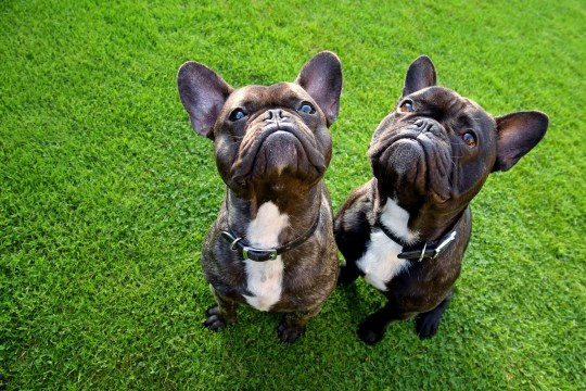 Two French bulldogs sitting on grass, looking up at the camera and photographed with a wide-angle lens which has resulted in a slight distortion.