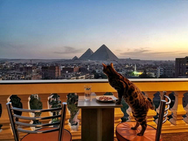 This is the amazing footage of a lucky kitty Yoshi who gets to eat every meal on a balcony that has an incredible view of the iconic Pyramids of Giza Yoshi is a 2-year-old F6 Bengal who lives in Cairo, Egypt with his owner Steven J Whitfield . The pair live in an apartment that has a balcony with a stunning view of the world famous Pyramids of Giza