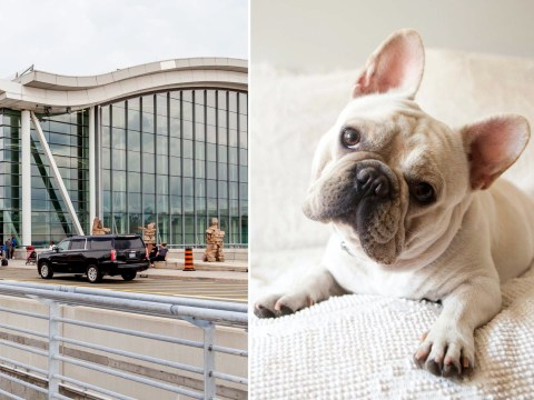 38 French bulldog puppies found dead in cargo on plane