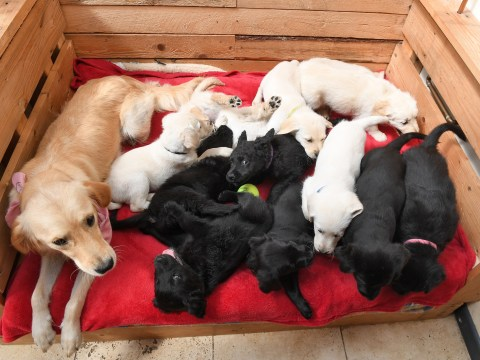 Couple who saved dog from 'death row' stunned when the Labrador gives birth to 12 puppies