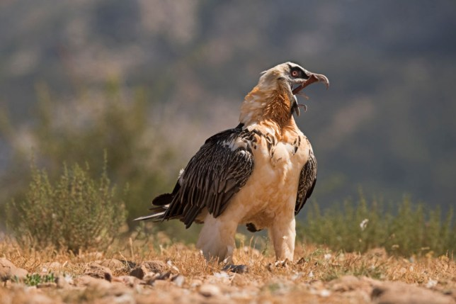 Bearded Vulture, Lammergeyer, Gypaetus barbatus, adult swallowing leg bone including hoof, Spanish Pyrenees This bird has the ability to dissolve the bone in their stomachs within 24 hrs