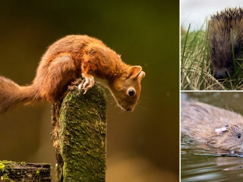 A quarter of Britain's native mammals are at risk of extinction