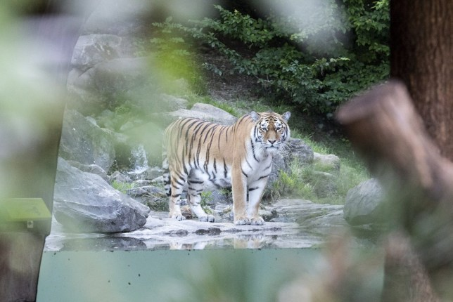 epa08527067 he tiger male Sayan in the restricted area at the Zoo Zurich after the accident in the tiger enclosure where a female keeper was attacked and fatally injured by a female tiger, in Zurich, Switzerland, 04 July 2020. Two adult Amur tigers live in the tiger enclosure: the five-year-old female Irina and the four-and-a-half-year-old male Sayan. EPA/ENNIO LEANZA