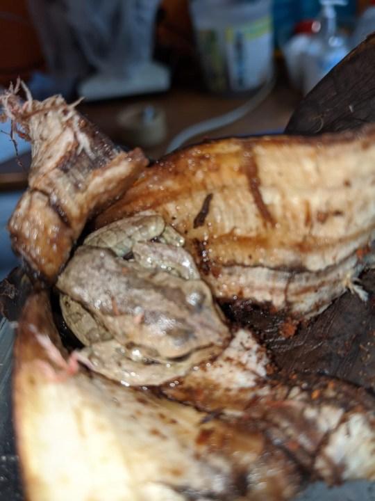 Asda the exotic frog in a banana skin