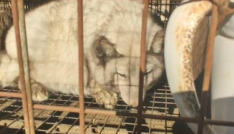 Re: Live: 2205952 Des images troublantes révèlent la souffrance des renards et des chiens ratons laveurs