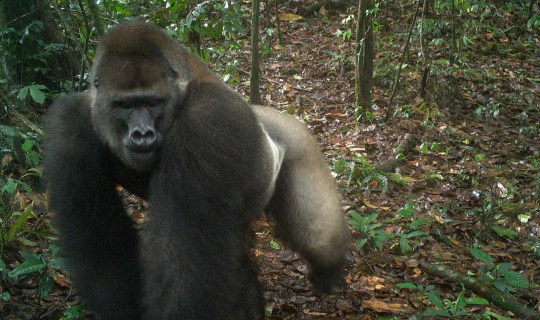 This photo taken by a camera trap shows a Cross River gorilla in the Mbe Mountains of Nigeria on Monday, June 22, 2020. Conservationists have captured the first images of a group of rare Cross River gorillas with multiple babies in the Mbe mountains of Nigeria, proof that the subspecies once feared to be extinct is reproducing amid protection efforts. (WCS Nigeria via AP)