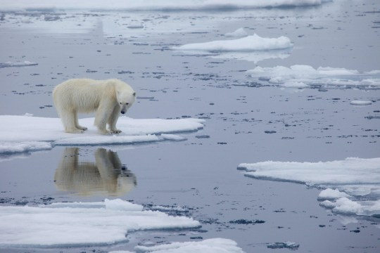 A polar bear standing on melting sea ice in Svalbard, Norway, in 2013.