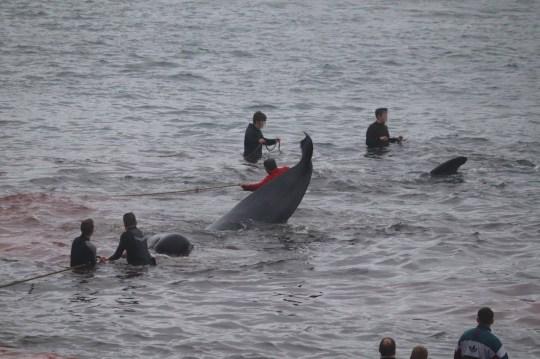 Après qu'il est apparu que le coronavirus pourrait l'empêcher d'aller de l'avant, et dans un contexte d'indignation des écologistes, la tradition de chasse à la baleine des îles Féroé a commencé cette semaine avec le meurtre de quelque 300 mammifères. L'ancien grindadrap (abattage), qui a commencé il y a plus de 1000 ans, est un pilier culturel de l'archipel, un territoire danois autonome dans les îles de l'Atlantique Nord - où la viande de baleine est un aliment de base. Mais les militants ont longtemps condamné cette pratique et l'ONG environnementale Sea Shepherd l'a encore fait après que quelque 250 globicéphales noirs et quelques dauphins à flancs blancs de l'Atlantique ont été tués mercredi au large de Hvalba, un village de l'île la plus au sud de Suduroy.