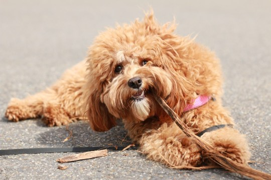 Dog owners warned over 'puppy snatchers' trying to steal dogs on walks a cute caramel colored cavoodle breed puppy dog lying on the ground playing and chewing on a stick in a park