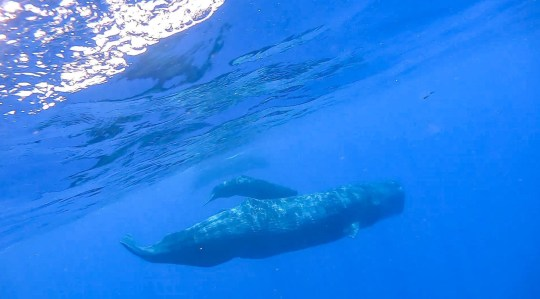 Mandatory Credit: Photo by Xinhua/REX (10722283a) Screenshot from a video clip taken on July 24, 2020 shows sperm whales in the South China Sea. Chinese scientists spotted and recorded sperm whale groups in the South China Sea on Friday. South China Sea Sperm Whale Spotted - 25 Jul 2020