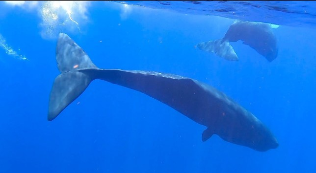 Mandatory Credit: Photo by Xinhua/REX (10722283b) Screenshot from a video clip taken on July 24, 2020 shows sperm whales in the South China Sea. Chinese scientists spotted and recorded sperm whale groups in the South China Sea on Friday. South China Sea Sperm Whale Spotted - 25 Jul 2020