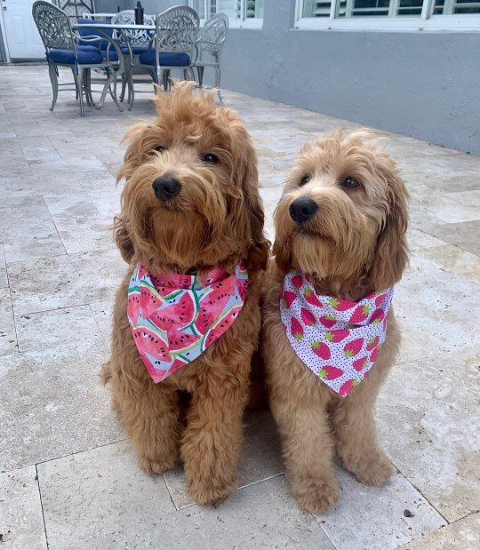 two dogs wearing the bandanas